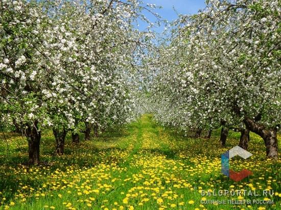 Цветение деревьев: апрель – май