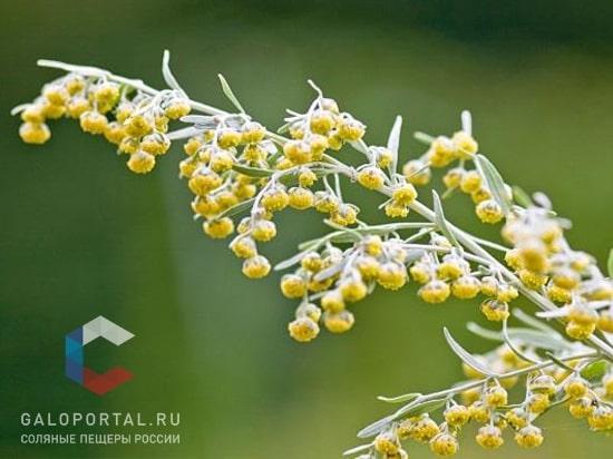 Цветение сорных растений: август – октябрь
